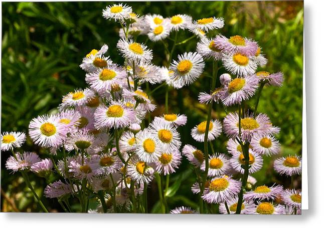 Wild Daisies Greeting Card by Byron Varvarigos