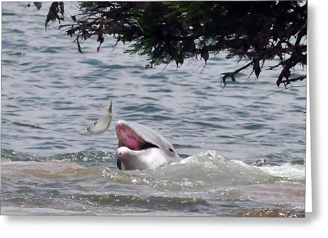 Wild Dolphin Feeding Greeting Card
