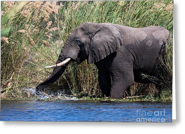 Greeting Card featuring the photograph Wild Elephant Splashing In Water by Karen Lee Ensley
