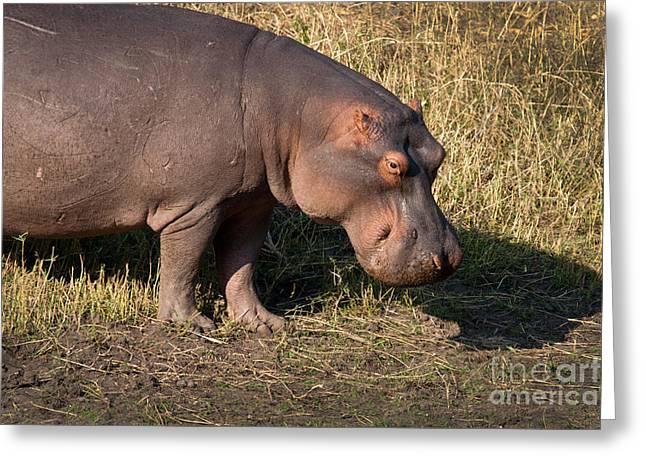 Greeting Card featuring the photograph Wild Hippopotamus by Karen Lee Ensley