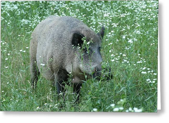 Wild Hog Between Flowers Greeting Card by Ulrich Kunst And Bettina Scheidulin