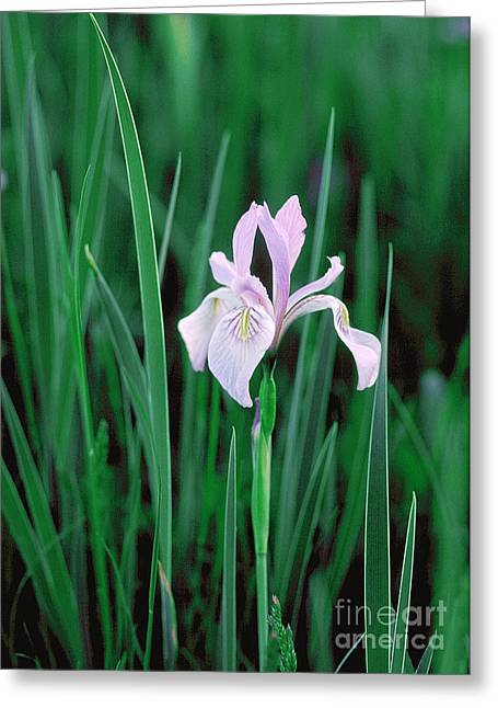 Greeting Card featuring the photograph Wild Iris by Doug Herr