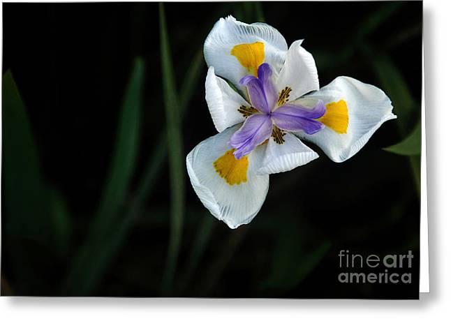 Wild Iris Greeting Card by Kaye Menner