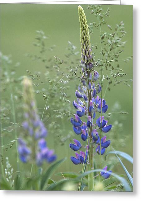 Wild Lupine Flower Greeting Card
