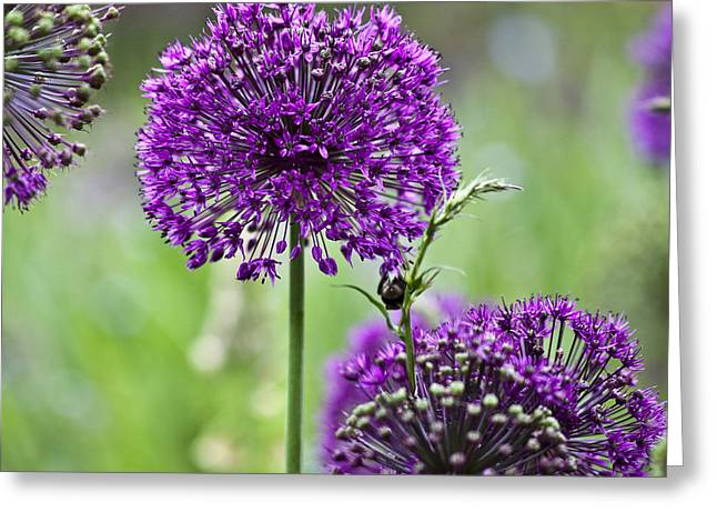 Wild Onion Flower Greeting Card by Heiko Koehrer-Wagner