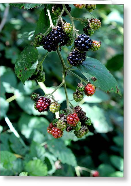 Greeting Card featuring the photograph Wild Oregon Blackberries by Jo Sheehan