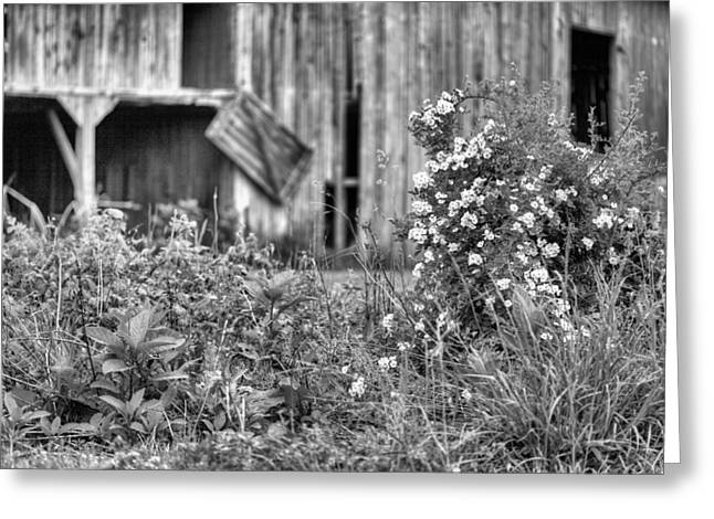 Wild Roses Bw Greeting Card by JC Findley
