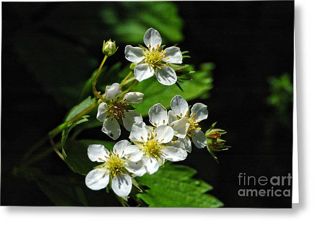 Wild Strawberry Blossoms Greeting Card