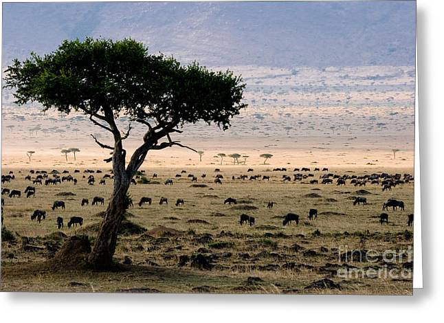 Wildebeest Connochaetes Taurinus Grazing Greeting Card by Gregory G. Dimijian, M.D.