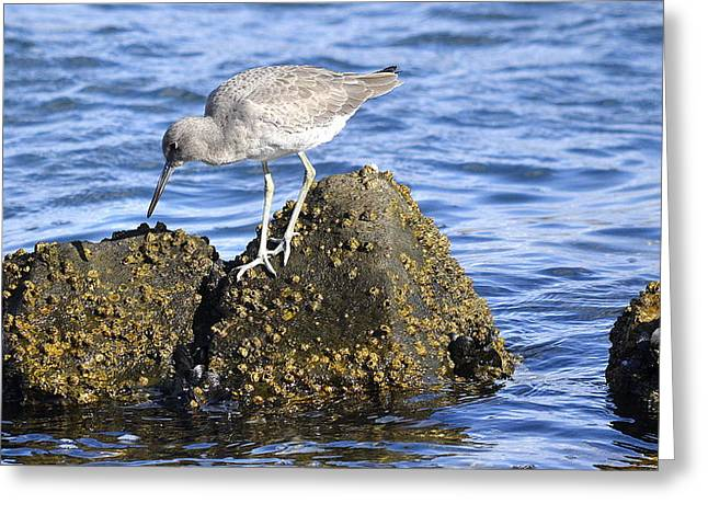 Willet On The Rocks Greeting Card by Fraida Gutovich