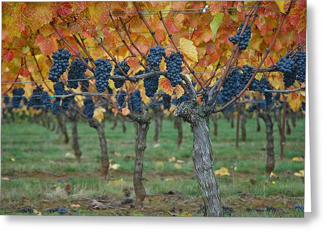 Wine Grapes - Oregon - Willamette Valley Greeting Card by Jeff Burgess