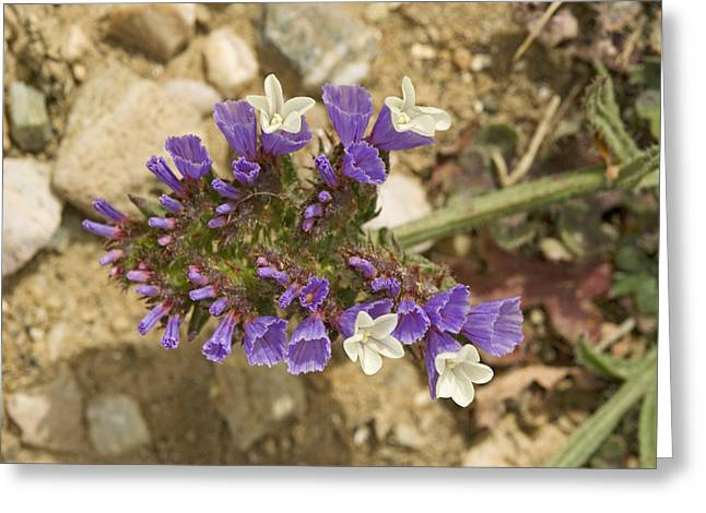 Winged Sea Lavender (limonium Sinuatum) Greeting Card by Bob Gibbons