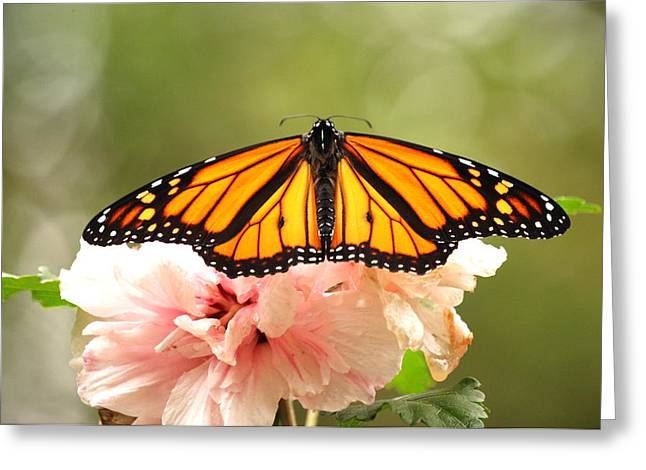 Wings At Rest Greeting Card by Kathy Gibbons