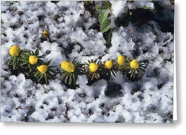 Winter Aconite (eranthis Cilicica) Greeting Card