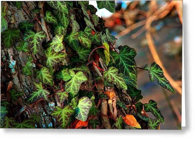 Greeting Card featuring the photograph Winter Ivy by Mike Flynn