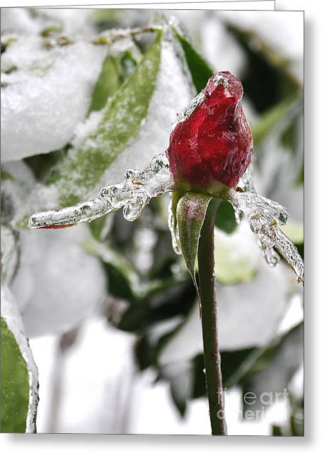 Winter Rose Greeting Card by Tanya  Searcy