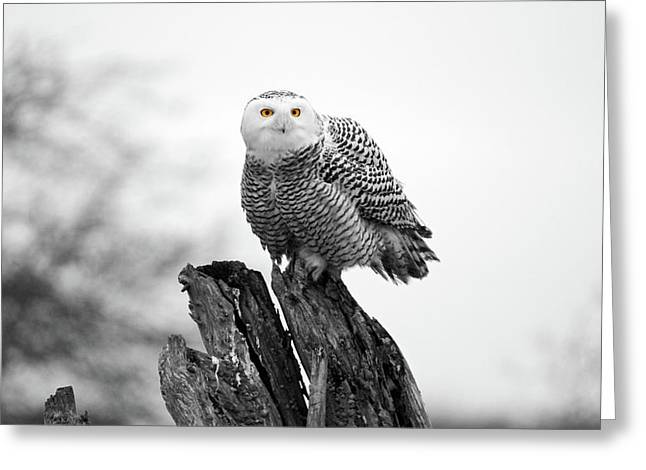 Winter Snowy Owls Greeting Card by Pierre Leclerc Photography