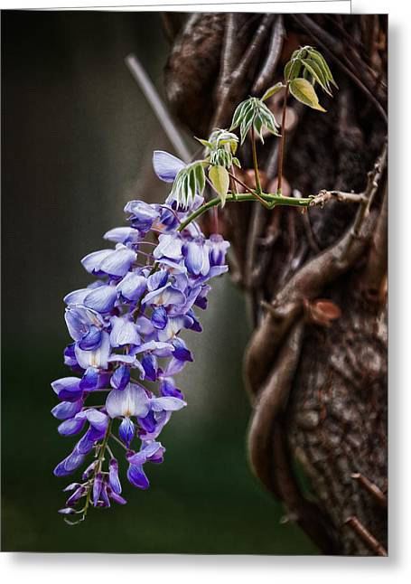 Wisteria Greeting Card by Brenda Bryant