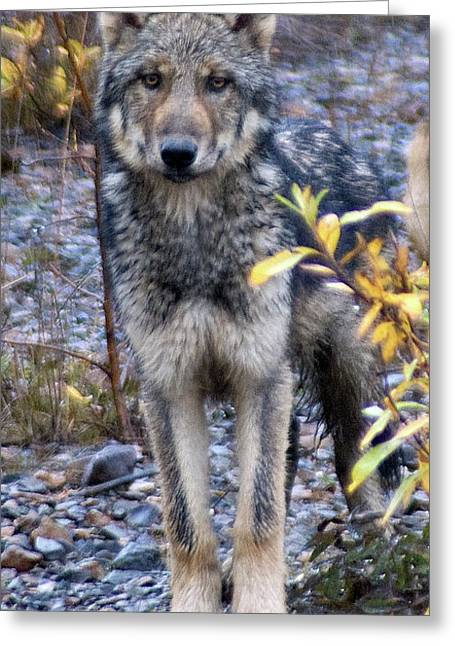 Wolf Cub In Denali Greeting Card by Jim and Kim Shivers