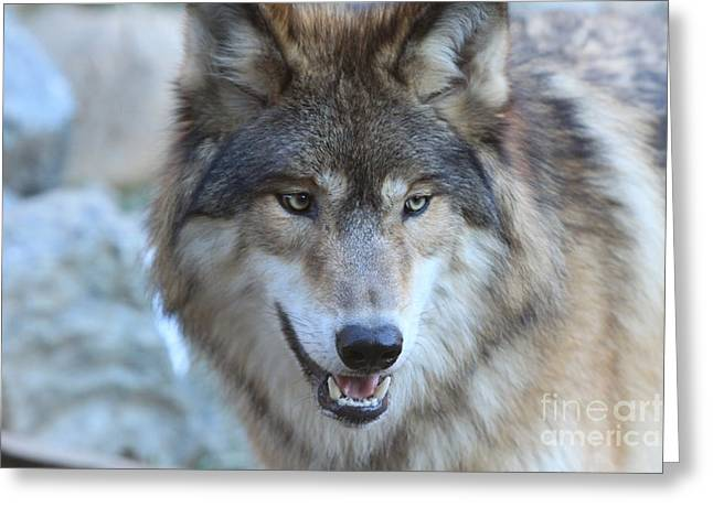 Wolf Greeting Card by Kate Purdy