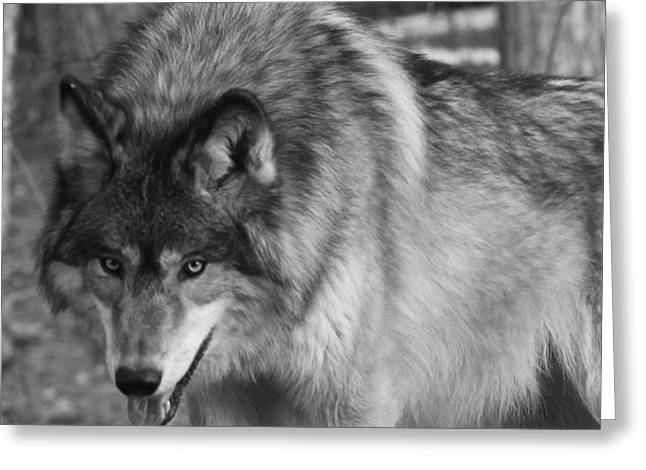 Wolf Stare Greeting Card by Kate Purdy