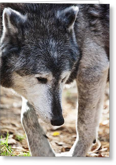 Wolfs Beauty Greeting Card by Karol Livote