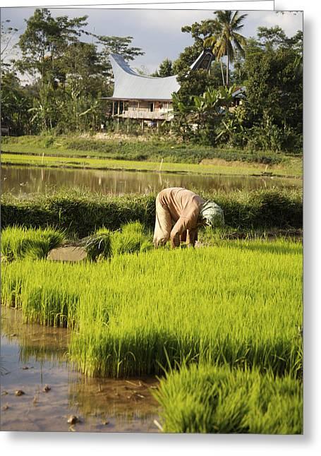 Woman Planting Rice Greeting Card