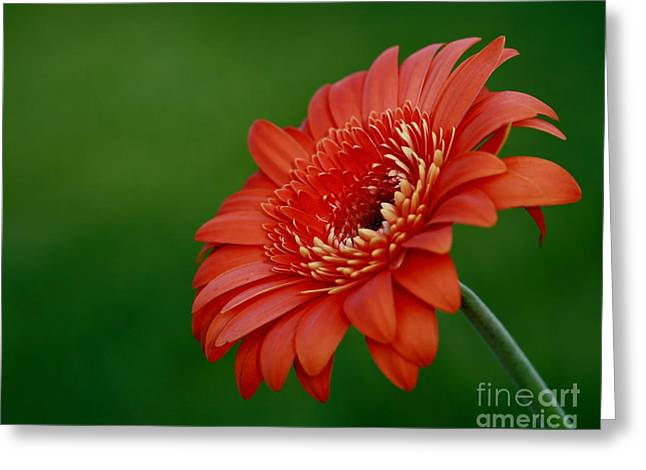 Wonder Of Nature Gerber Daisy Greeting Card by Inspired Nature Photography Fine Art Photography