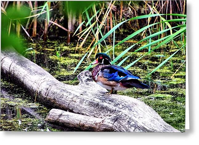 Wood Duck At Rest Greeting Card