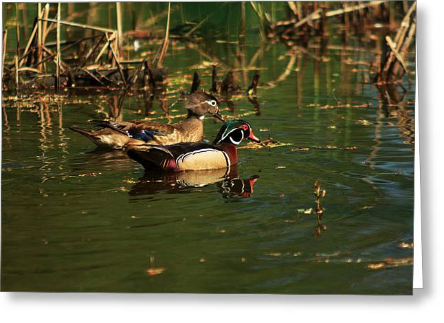 Greeting Card featuring the photograph Wood Duck Pair by Josef Pittner