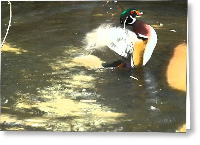 Wood Duck Playing In Pond Greeting Card by Richard Adams