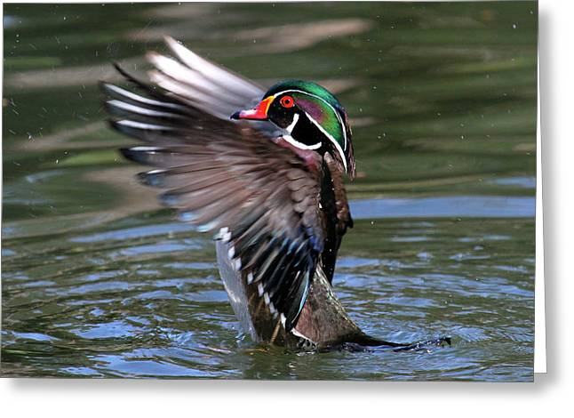 Wood Duck Stretch Greeting Card