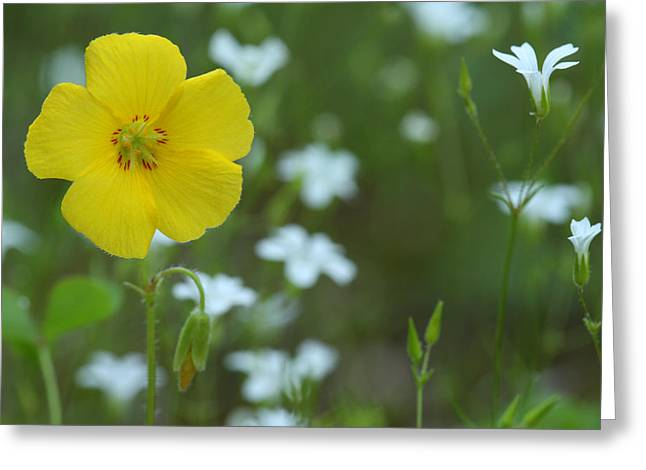 Wood Sorrel And Sandwort Greeting Card