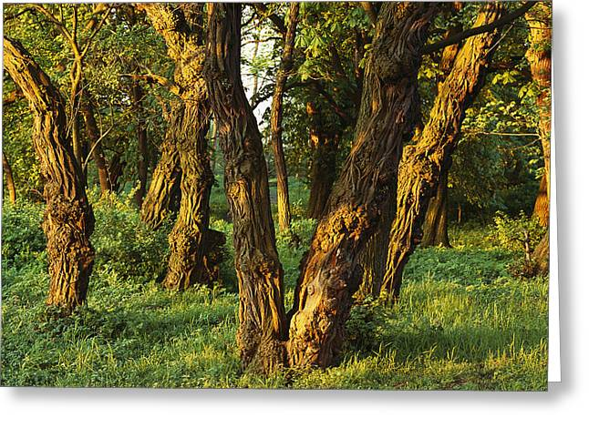 Woodland View Of Gnarled Tree Trunks Greeting Card