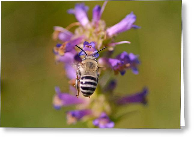 Greeting Card featuring the photograph Worker Bee by Mitch Shindelbower