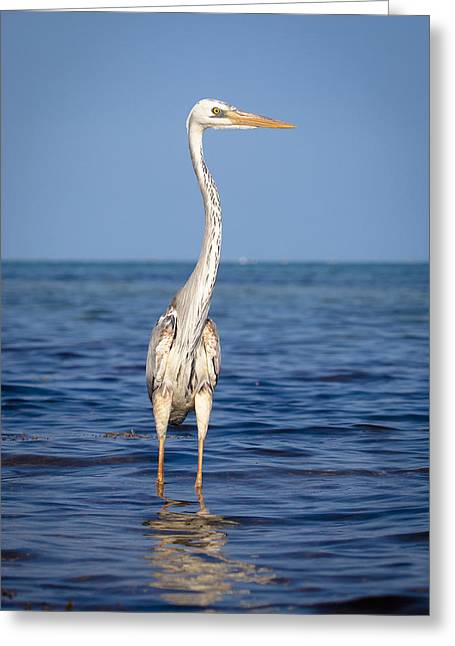 Wurdemann's Heron Greeting Card