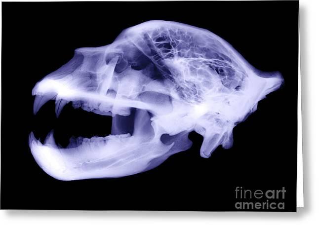 X-ray Of Kodiak Bear Skull Greeting Card by Ted Kinsman