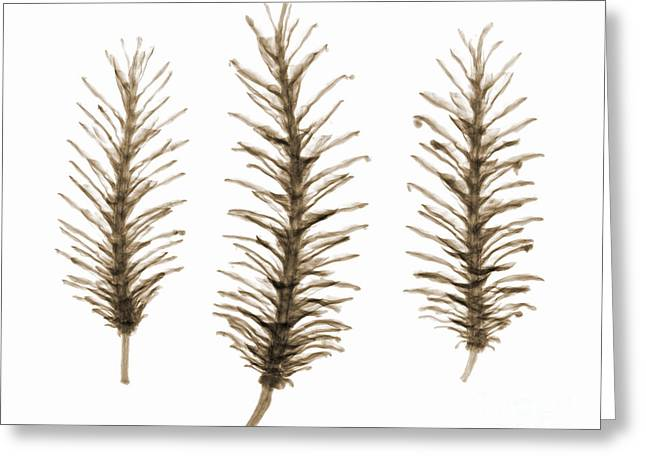 X-ray Of Pine Cones Greeting Card by Ted Kinsman
