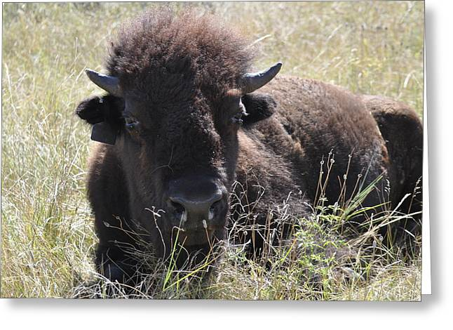 Big-haired Yearling Buffalo Greeting Card