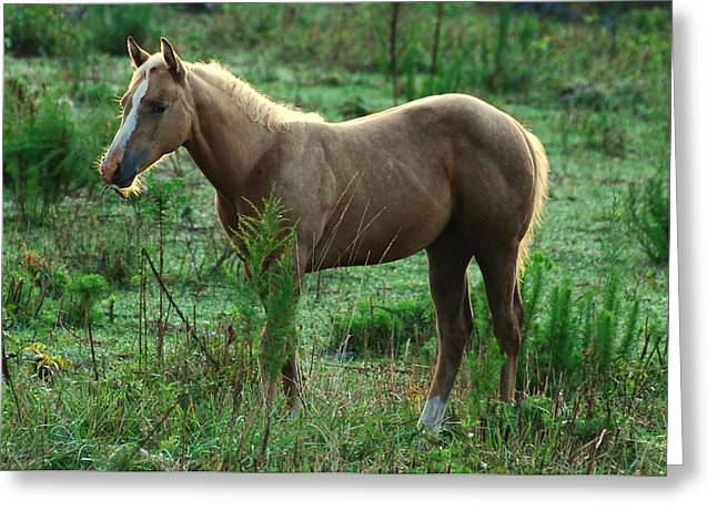 Yearling Palomino Chewing On A Stick - C0482c Greeting Card by Paul Lyndon Phillips