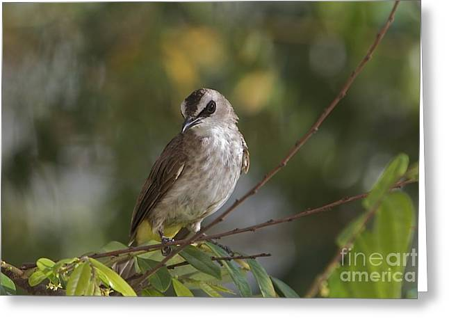 Yellew Vented Bul Bul  Greeting Card by Gary Bridger