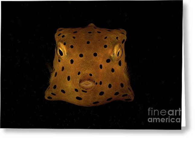 Yellow And Black Spotted Boxfish, North Greeting Card by Mathieu Meur