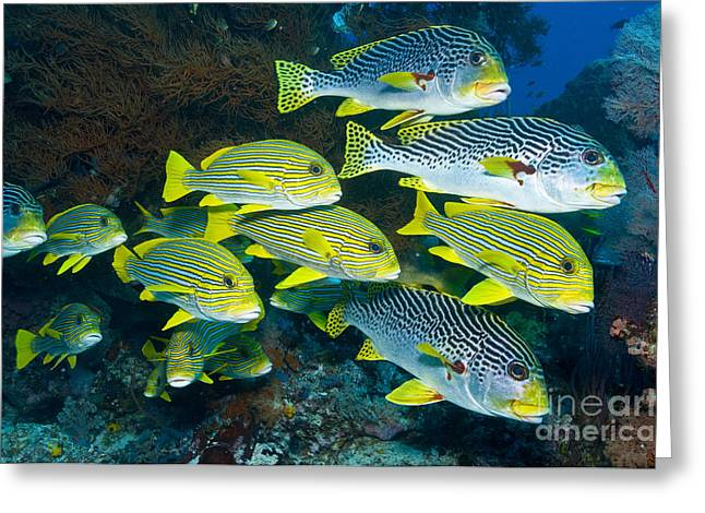 Yellow And Blue Striped Sweeltip Fish Greeting Card