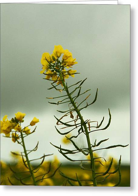 Yellow And Grey Greeting Card by Jacqui Collett