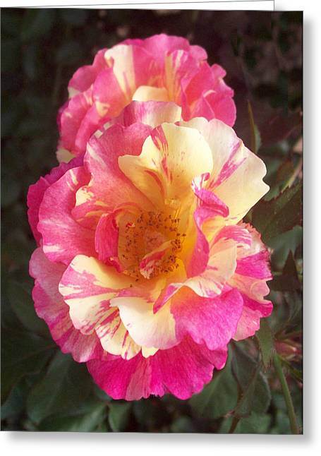Yellow And Pink Rose Greeting Card by Lisa Williams