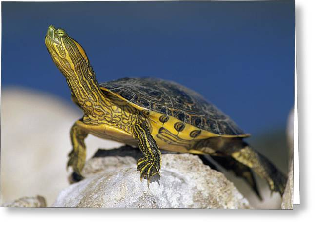 Yellow-bellied Slider Trachemys Scripta Greeting Card by Tim Fitzharris