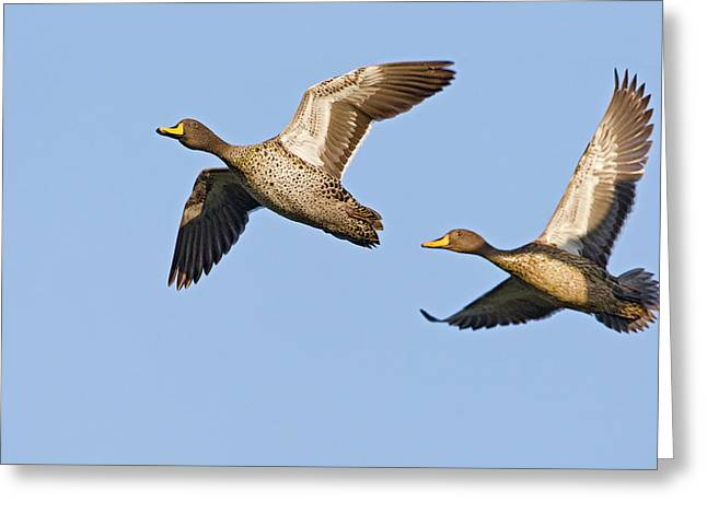 Yellow-billed Duck Anas Undulata Pair Greeting Card by Vincent Grafhorst