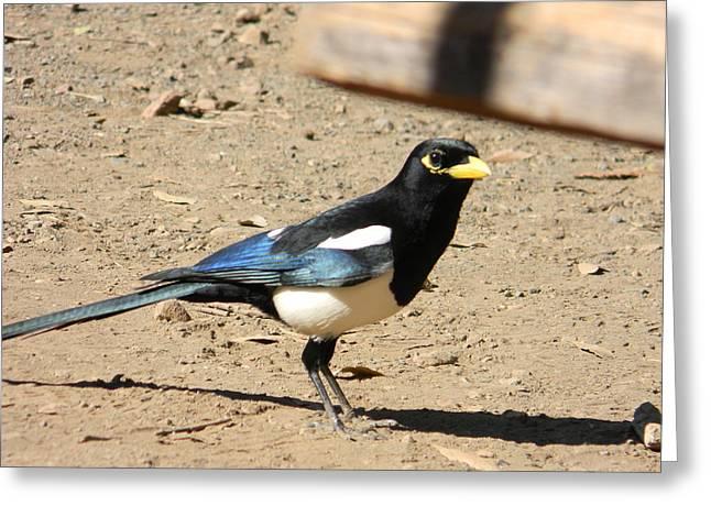 Yellow Billed Magpie Greeting Card by Carol Beza