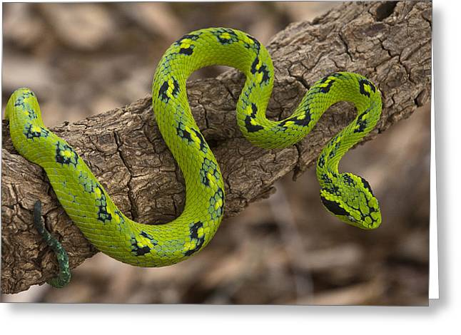 Yellow-blotched Palm Pitviper Greeting Card by Pete Oxford