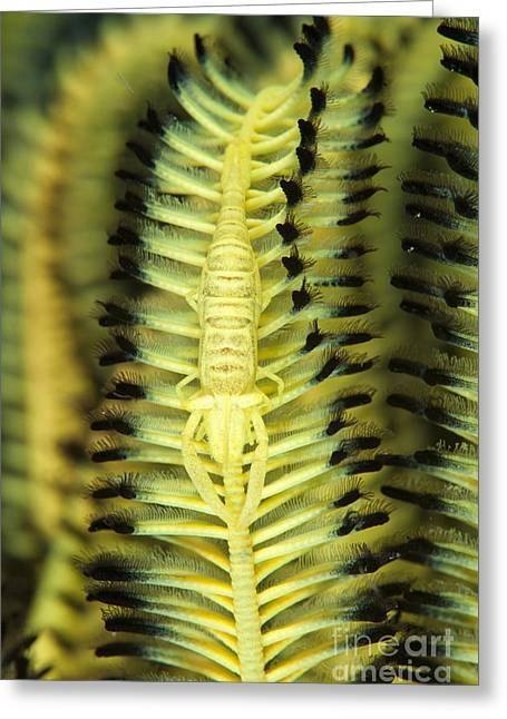 Yellow Commensal Shrimp On Crinoid Greeting Card by Steve Jones